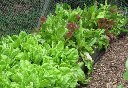 Garden_lettuce