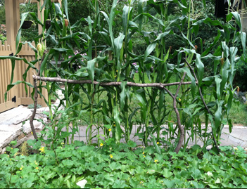 Corn_trellis_back