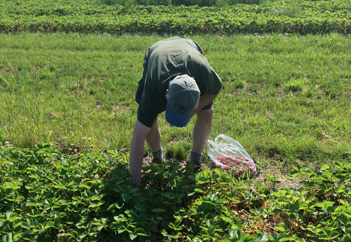 Pick_Strawberries