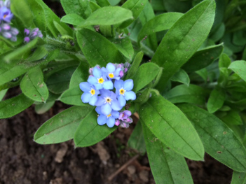 April_Forget-Me-Nots