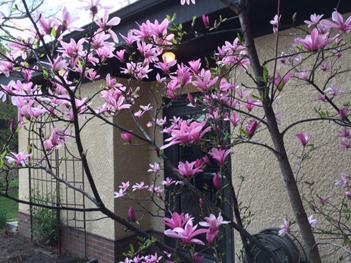 April_Magnolia