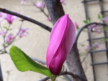 April_Magnolia_bud